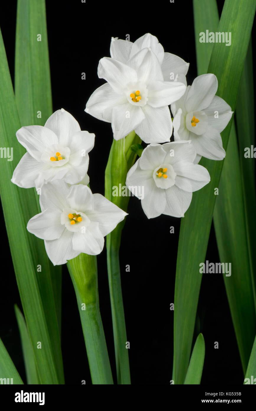 Fiori bianchi su una fragrante daffodil, narcisi 'Paperwhite' cresciuto come una pianta di casa in inverno Immagini Stock
