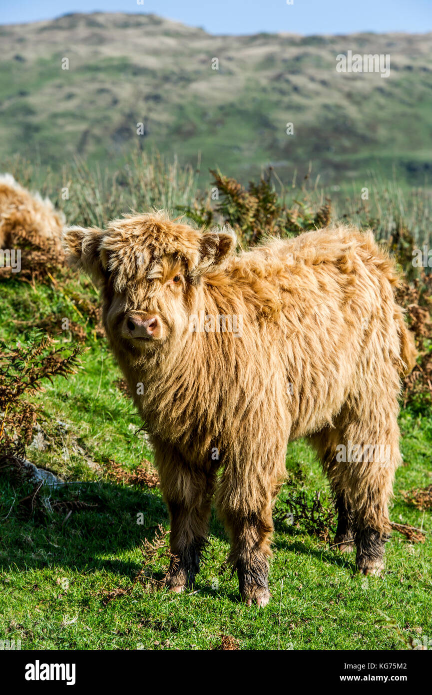 Highland bovini in piedi in un campo vicino a Coniston nel distretto del lago, Cumbria Immagini Stock