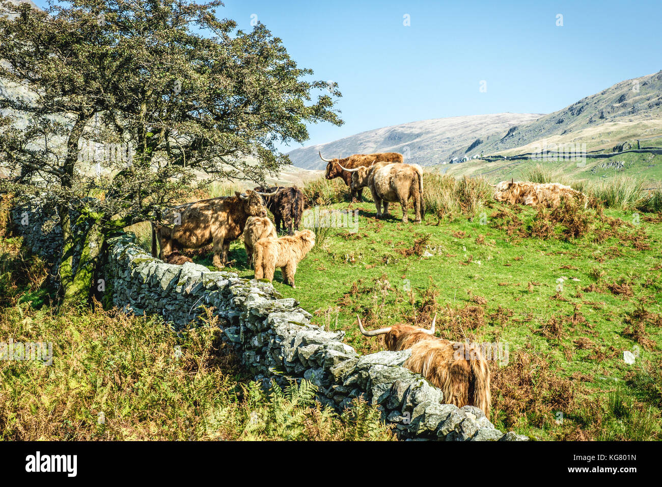 Allevamento di bovini highland in piedi in un campo nel parco nazionale del distretto dei laghi Immagini Stock