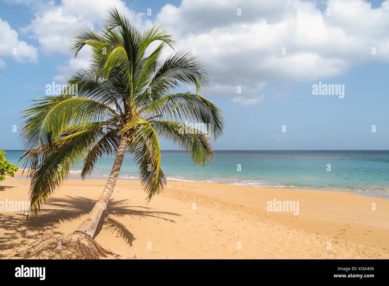 Lonely palm giacente sulla spiaggia sabbiosa di La Perle, Guadalupa Immagini Stock