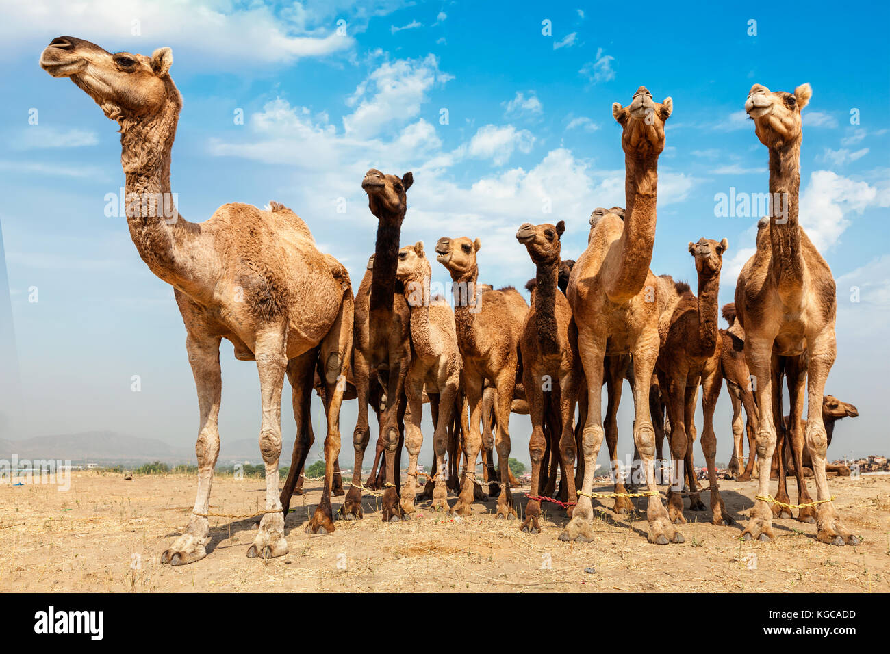 Cammelli a Pushkar mela pushkar camel fair , India Foto Stock