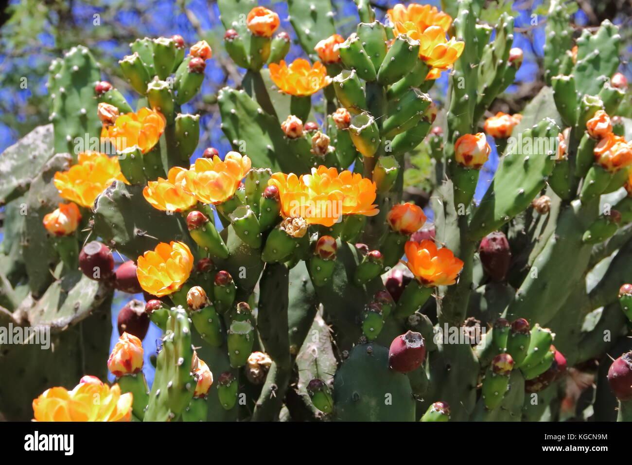 Piante Grasse Con Fiori Gialli.Cactus E Piante Grasse Con Fiori Gialli In Primavera Foto