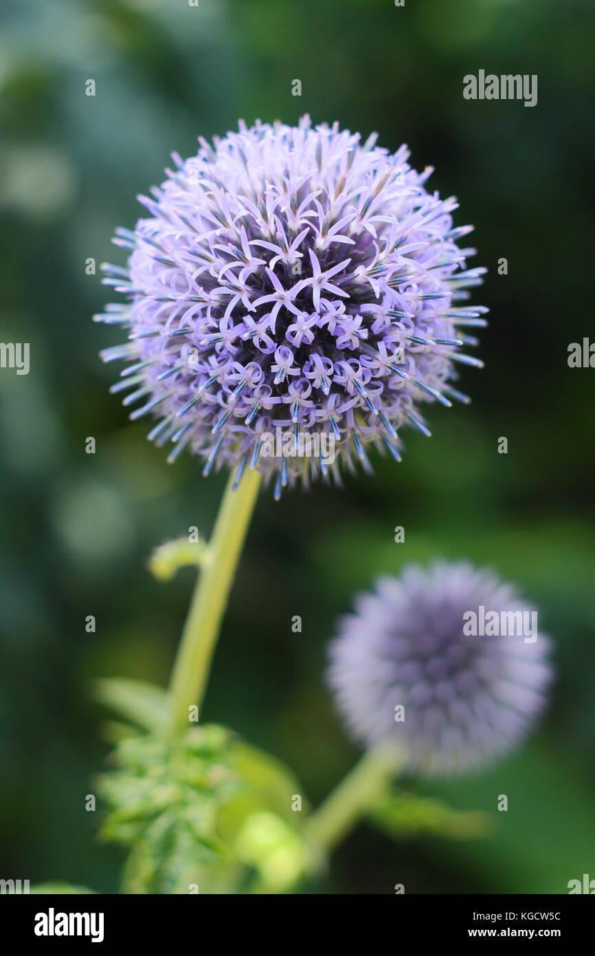 """Echinops bannaticus """" Taplow blue' globe thistle fioritura in un giardino estivo di frontiera, REGNO UNITO Foto Stock"""