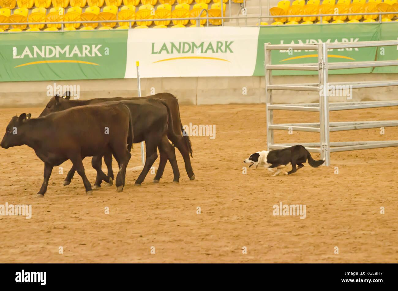 Bestiame prove del cane in un arena al coperto. Tamworth Australia. Immagini Stock