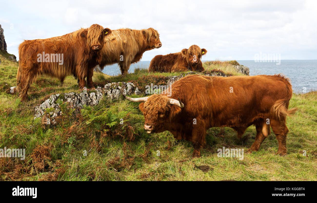 Highland scozzesi il pascolo di bestiame in un campo e pascolo su The Isle of Mull, Scozia Immagini Stock
