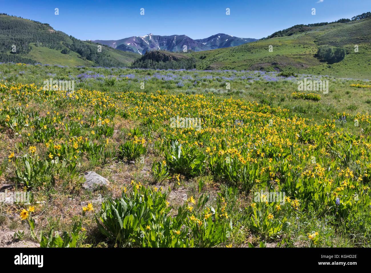 Prato di fiori selvaggi - lupino & mule le orecchie (vicino a Crested Butte, CO) Immagini Stock