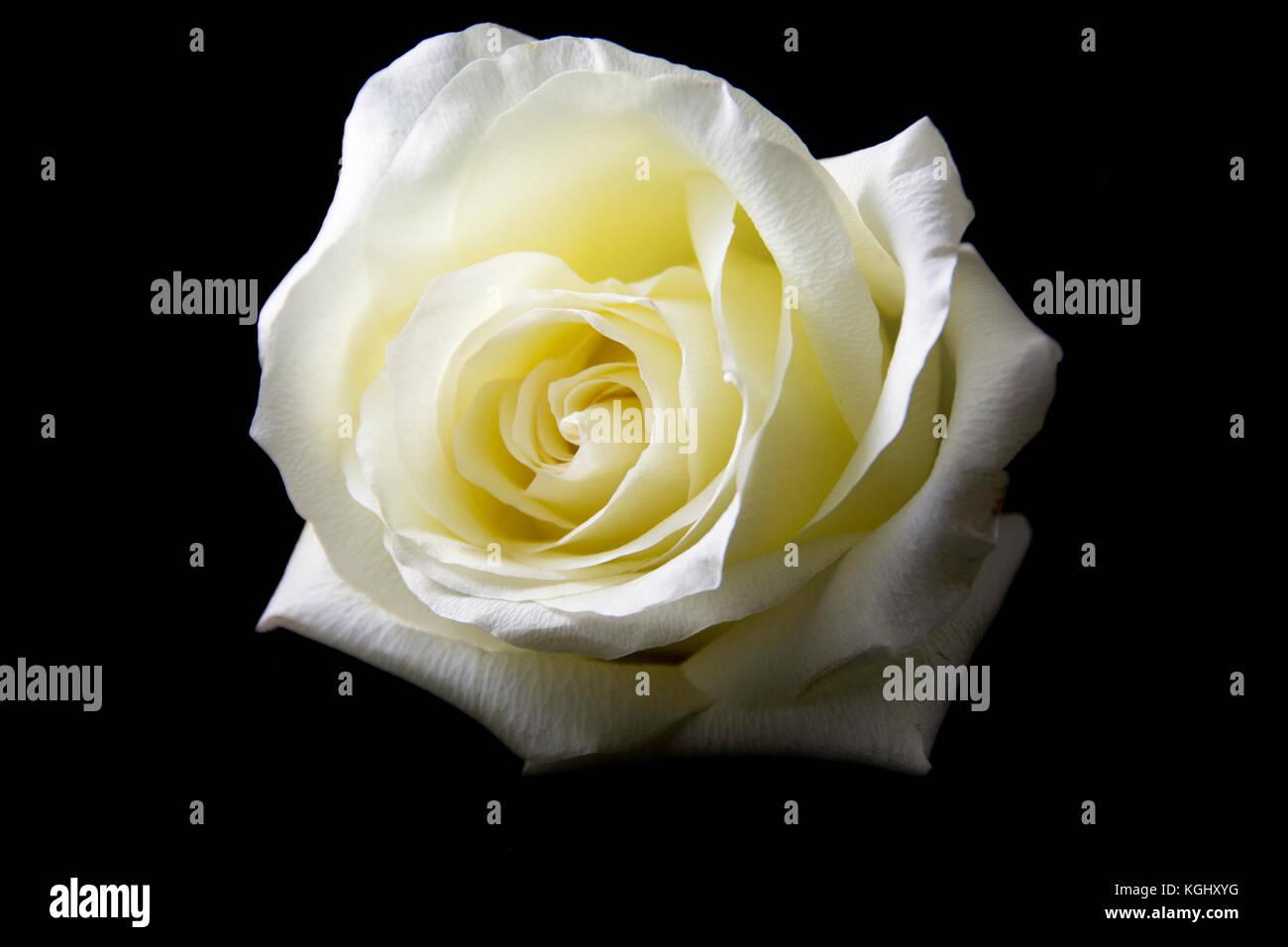 Una Bella Ed Elegante Di Macro Di Una Rosa Bianca Su Sfondo Nero