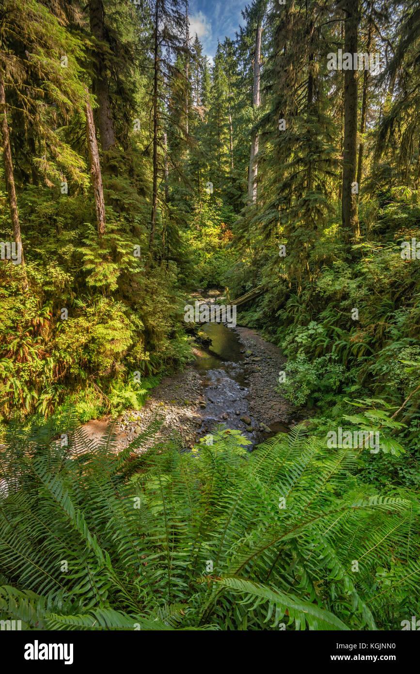 Felci su willaby creek, rain forest nature trail, quinault valley, Olympic National Forest, nello stato di Washington, Immagini Stock