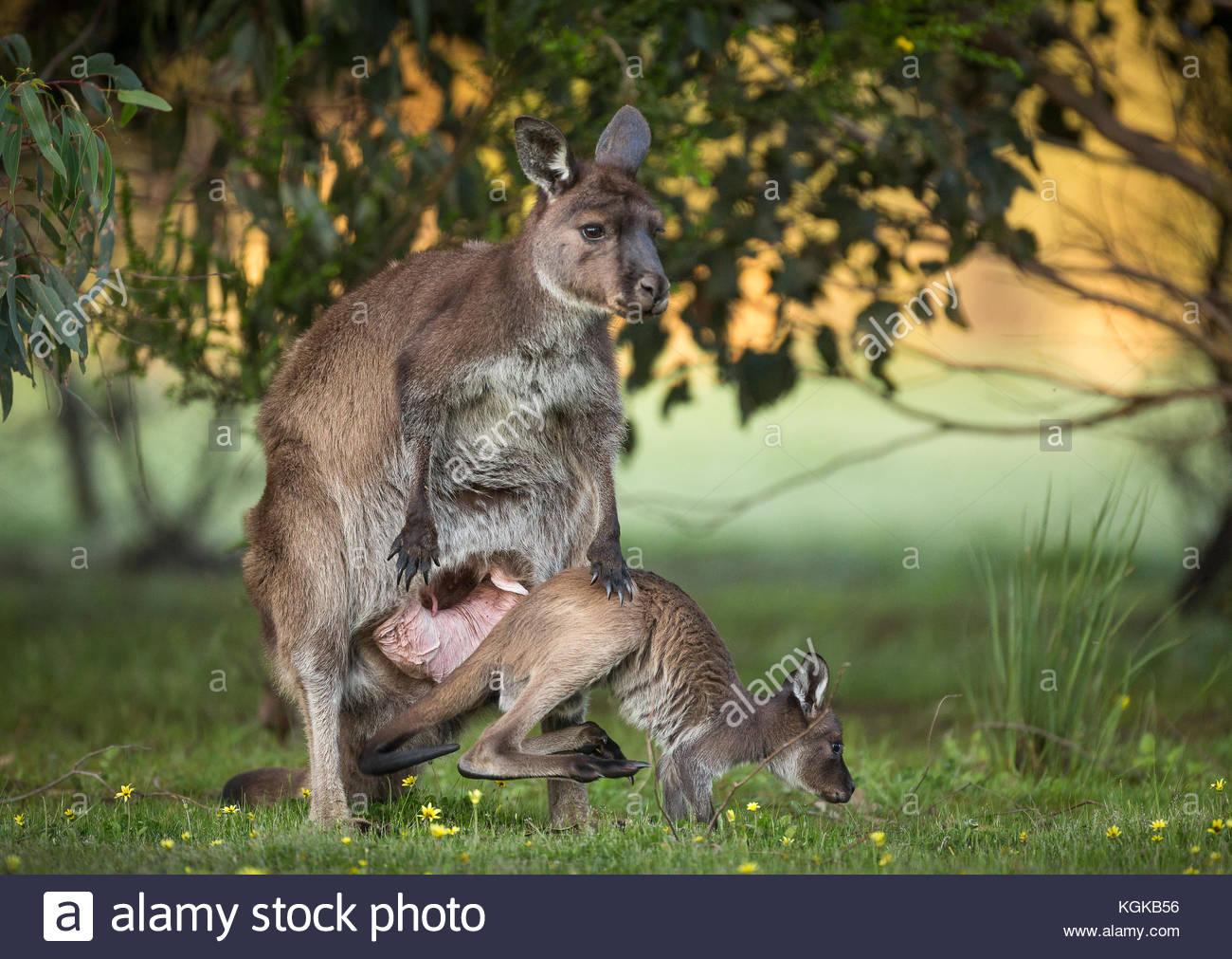 Un occidentale Canguro grigio joey emergente dalla sacca, Macropus fuliginosus. Foto Stock