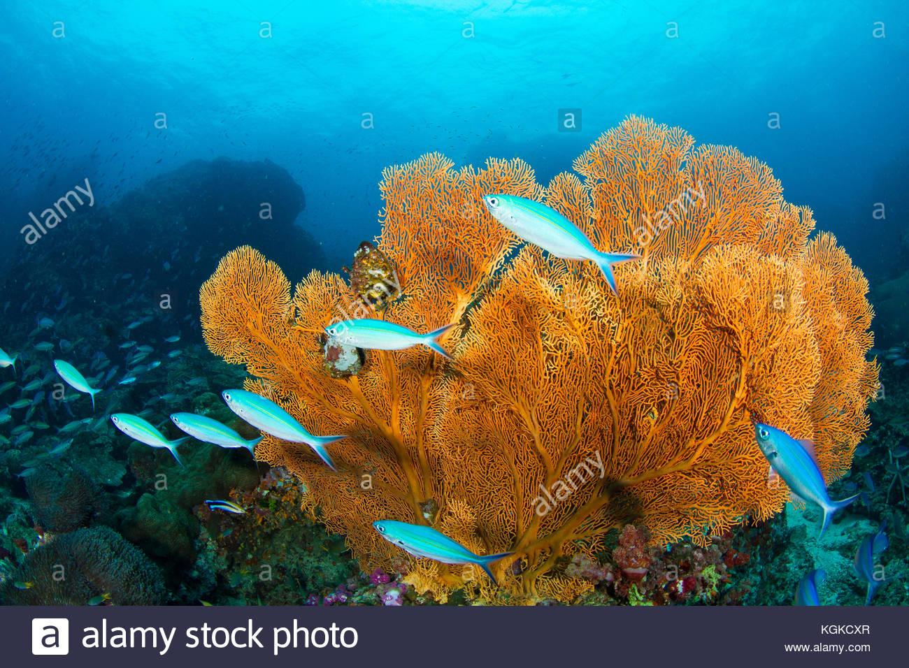 Seafans gorgonia fuseliers e su un profondo Coral reef. Immagini Stock