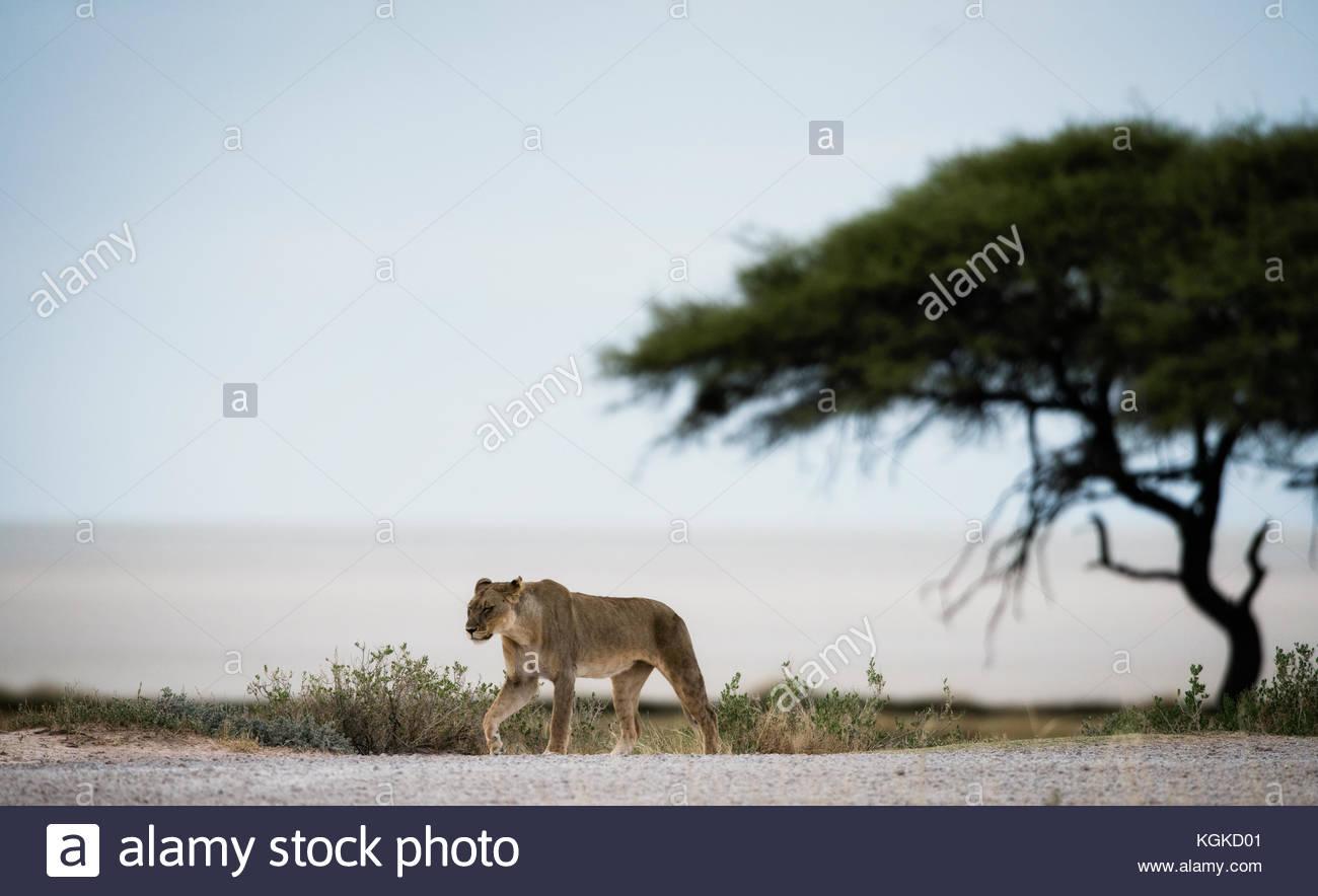 Leonessa, Panthera leo, camminando sul bordo del sale di Etosha pan. Immagini Stock