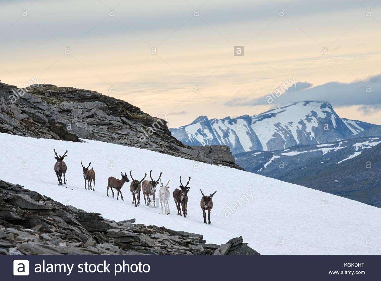 In una calda giornata estiva, semi-renna addomesticata, Rangifer tarandus, raccogliere su macchie di neve al fine Immagini Stock
