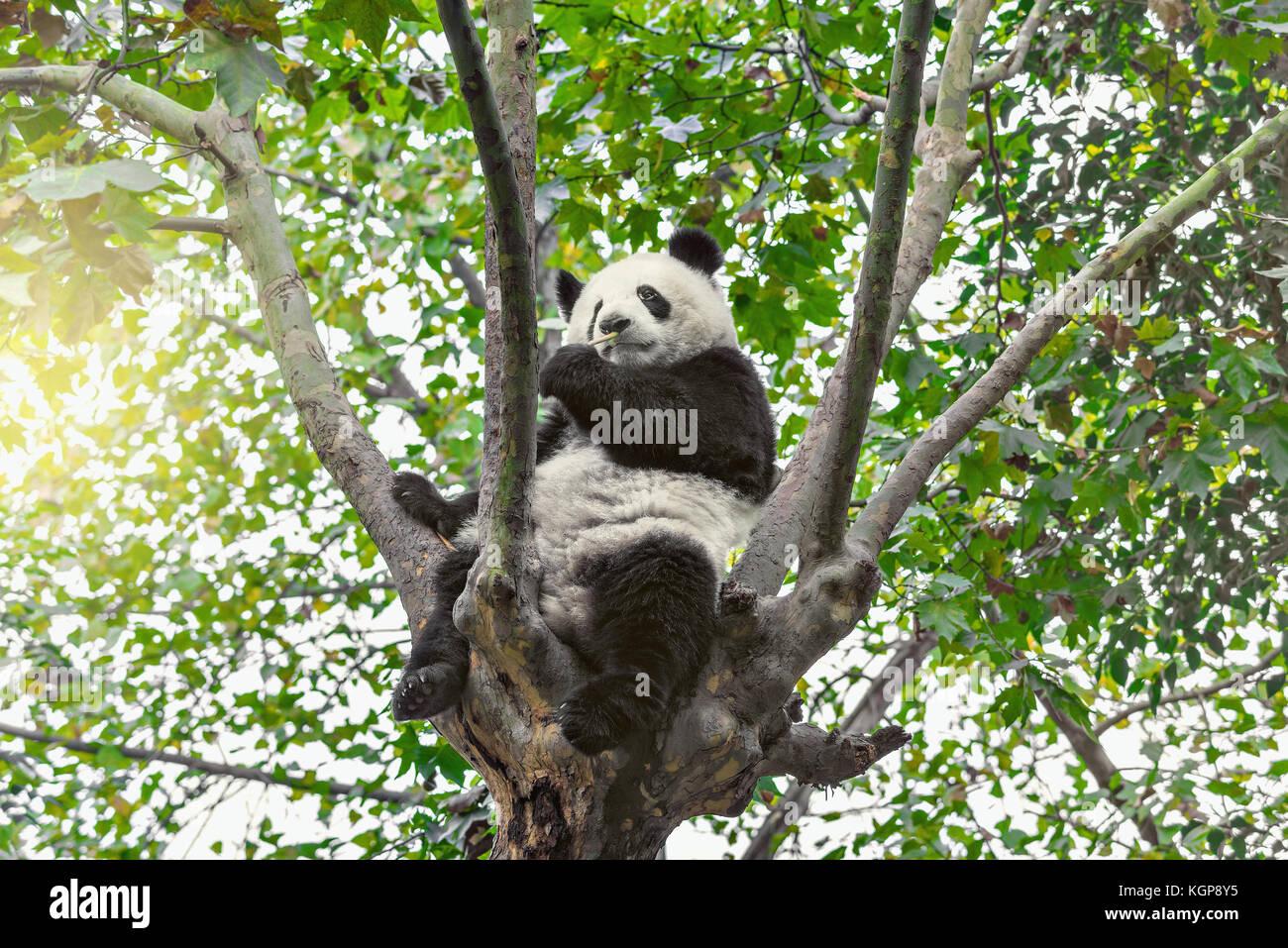 Panda gigante si siede sulla struttura ad albero brunch e mangia di bambù. Immagini Stock