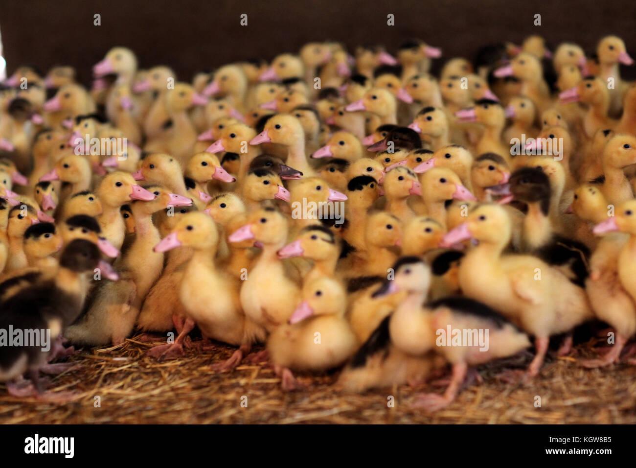 Primo piano della baby anatre in fattoria Immagini Stock