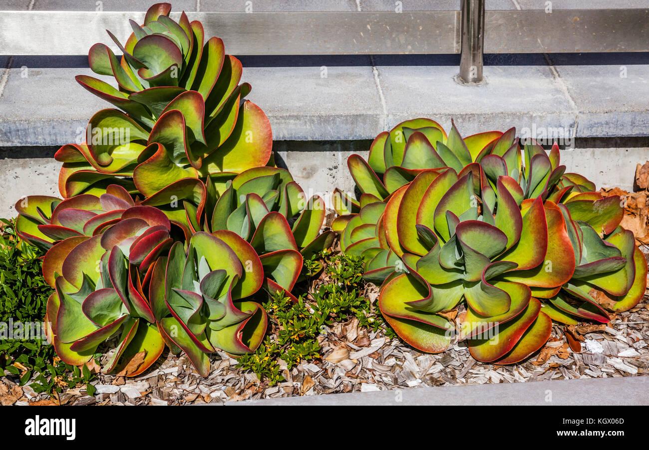 Australia, Nuovo Galles del Sud, Newcastle, Kalanchoe tetraphylla noto anche come impianto di pagaia o cavolo nel Immagini Stock