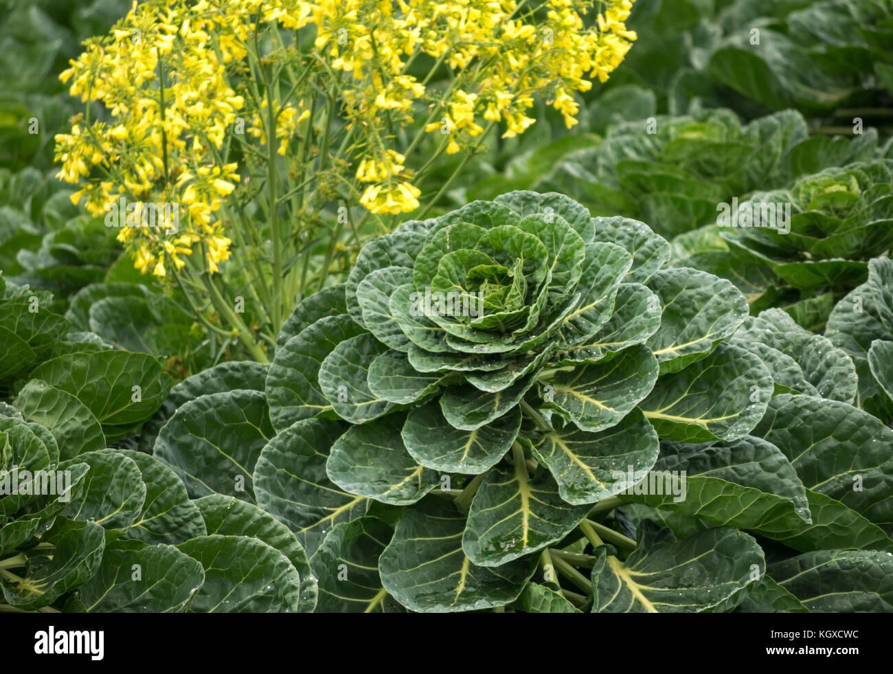Pianta Cavolini Di Bruxelles close up di cavoli di bruxelles impianto, brassica oleracea