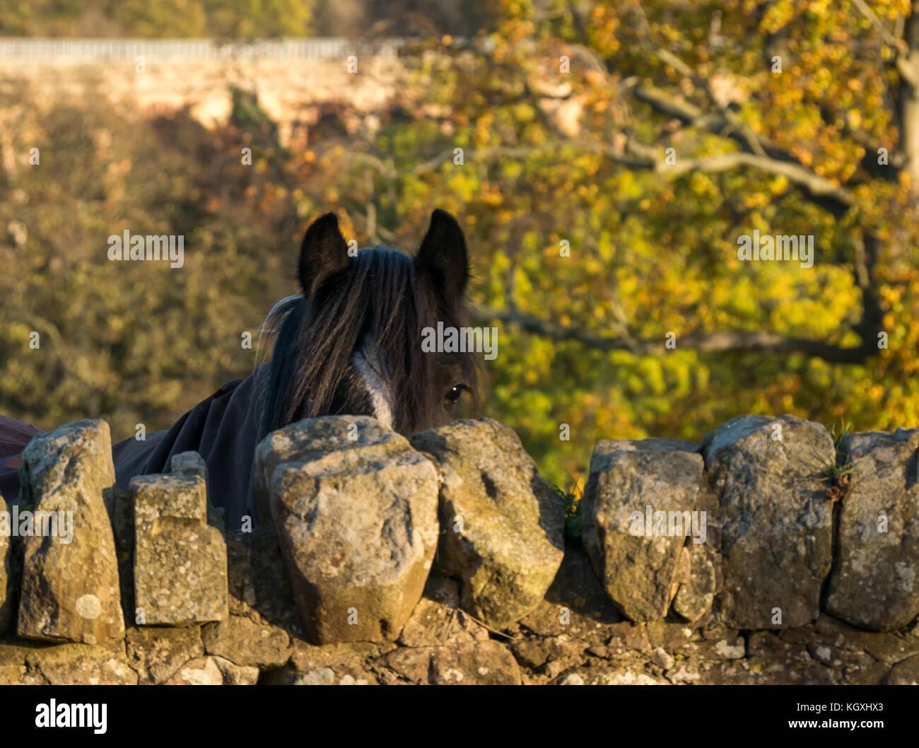 Schivo cavallo dietro il muro di pietra nel pomeriggio bassa luce del sole autunnale con Lothianbridge Vittoriano Immagini Stock