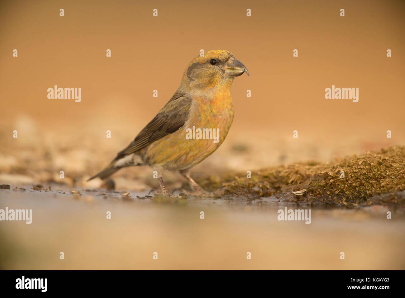 Loxia curvirostra, crossbill, animale,wildlife, bird,vertebrato, Spagna, Teruel, inverno, vero finch, passerine, Immagini Stock