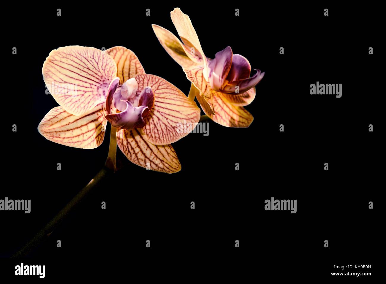 Fiori Gialli Borgogna.Bellissimo Sfondo Floreale Con Delicato Fiore Giallo Orchidee Con