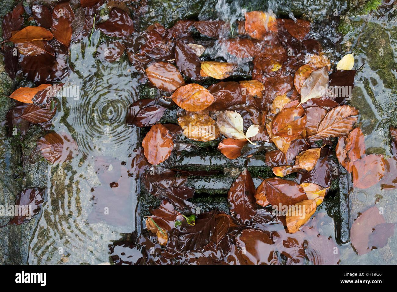 Autunno argento Betulla foglie bloccare una strada coperchio di scarico. Regno Unito Immagini Stock