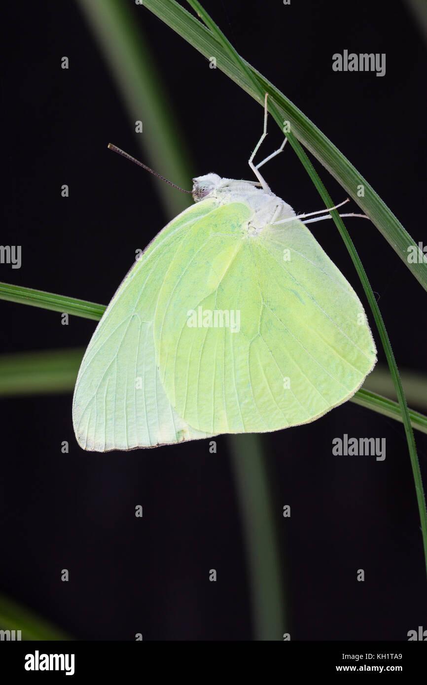 Emigrante limone butterfly (catopsilia pomona). maschio a riposo. Parco Nazionale Daintree. mucca bay. queensland. Immagini Stock