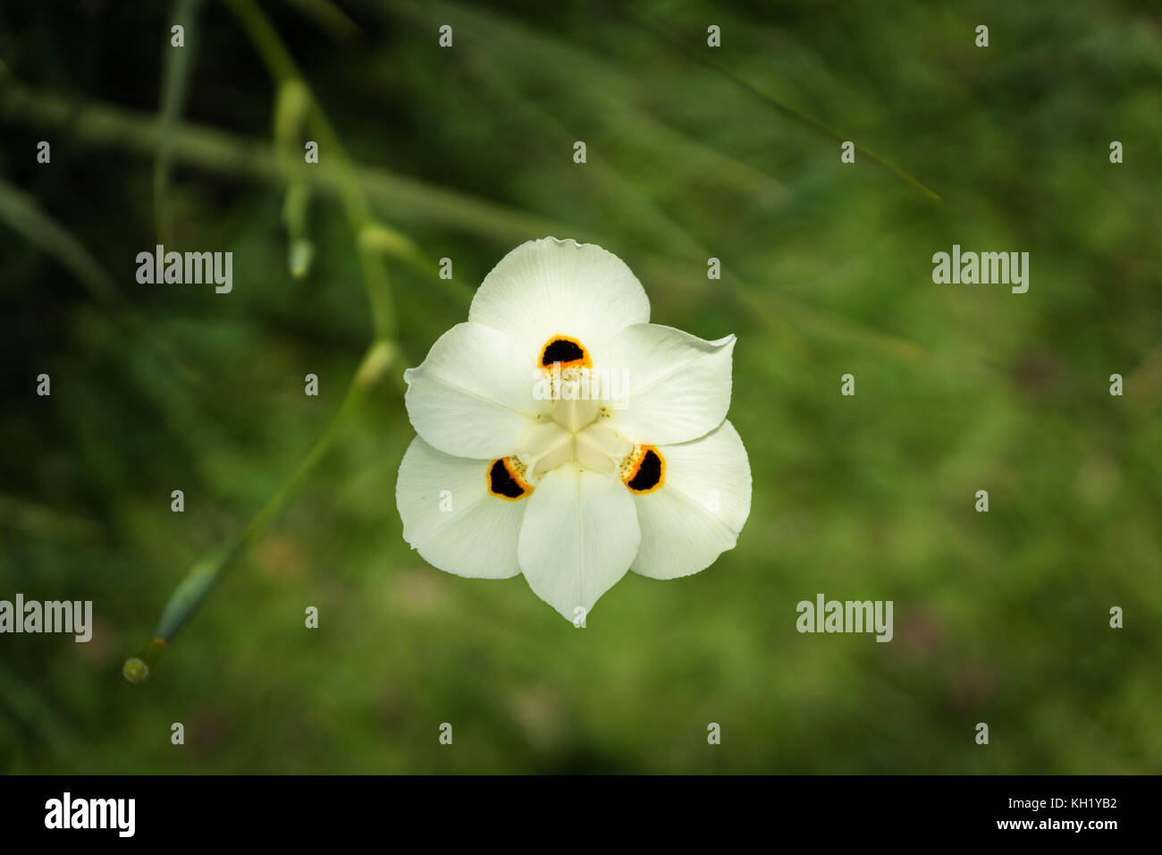 Exotic bianco fiori selvatici in Indonesia, ambiente tropicale Immagini Stock