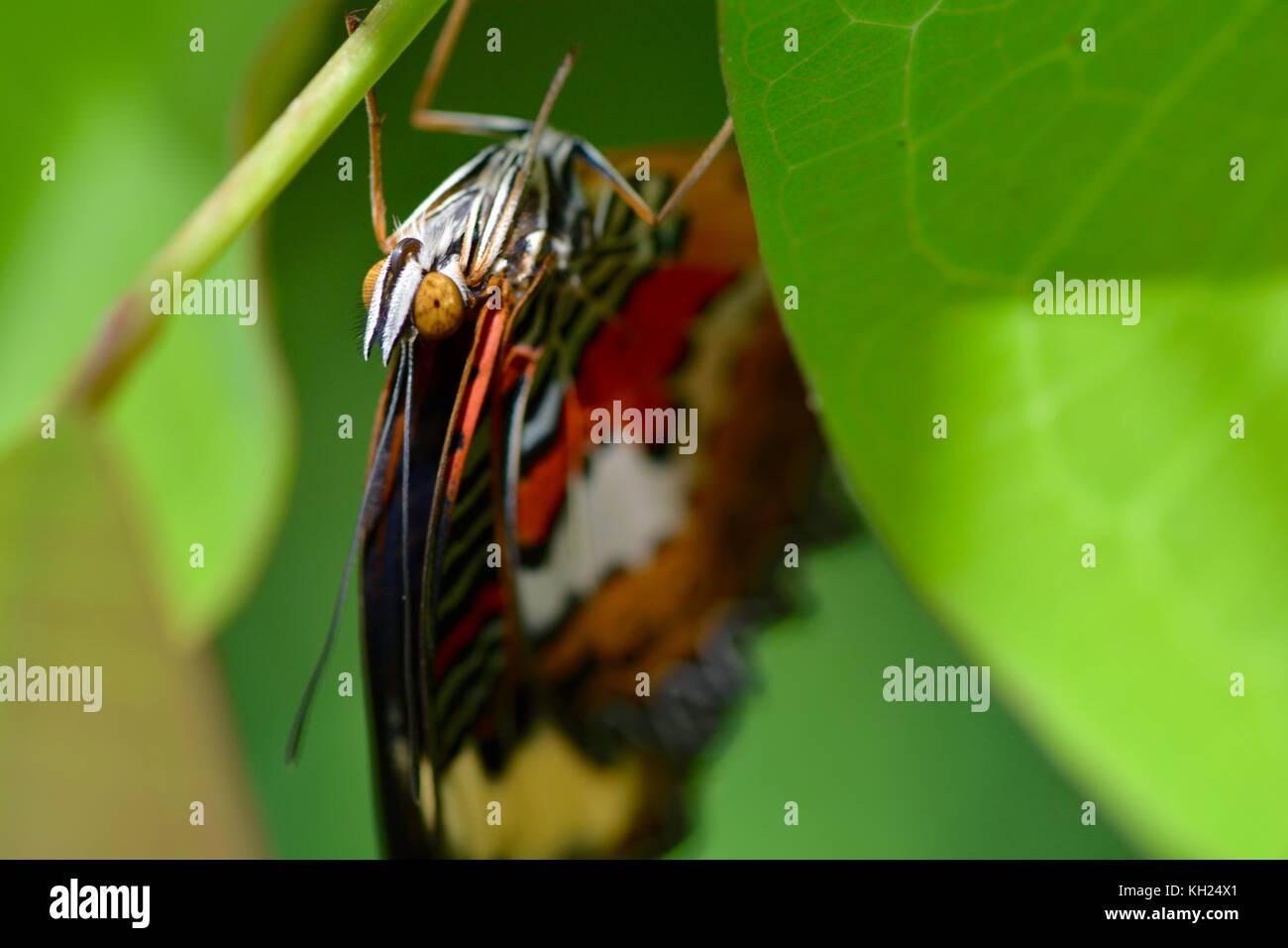 Appena emerse lacewing rosso butterfly dal Borneo Immagini Stock