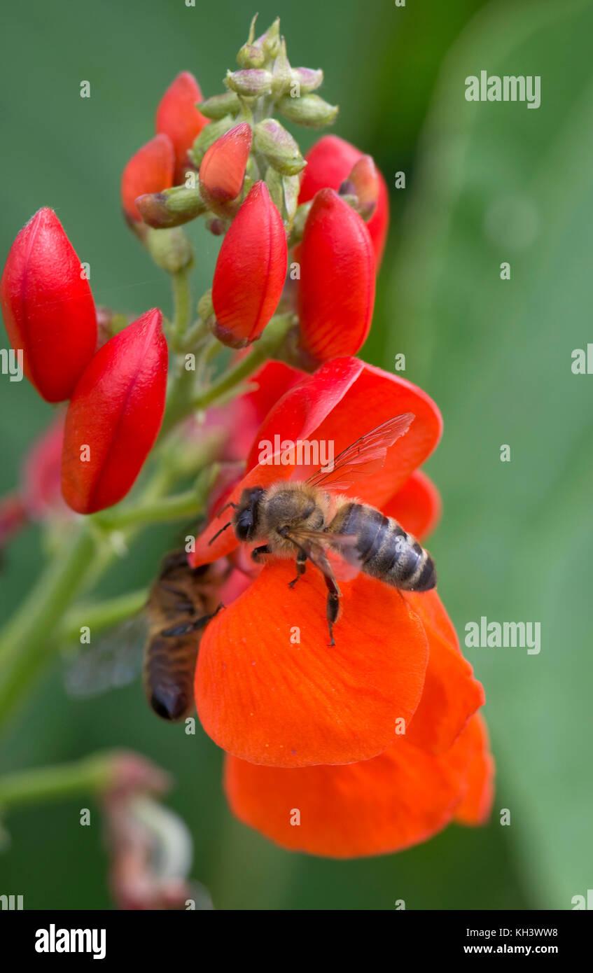 Il miele delle api, Apis mellifera, rovistando sul luminoso rosso dei fiori di runner fagioli, berkshire, agosto Foto Stock