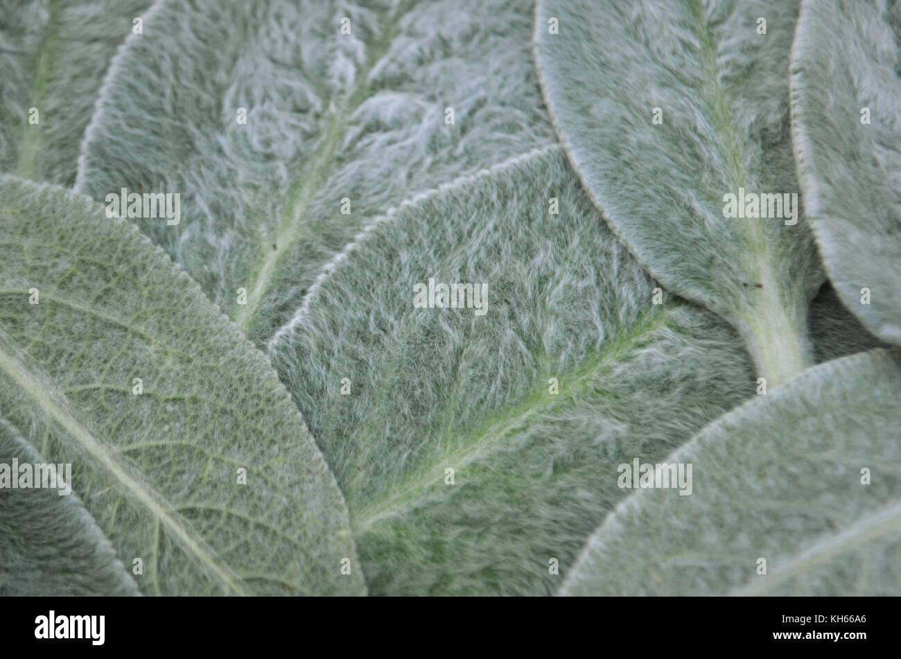 Pianta Orecchie Di Agnello agnello le orecchie perenne pianta di giardino (stachys