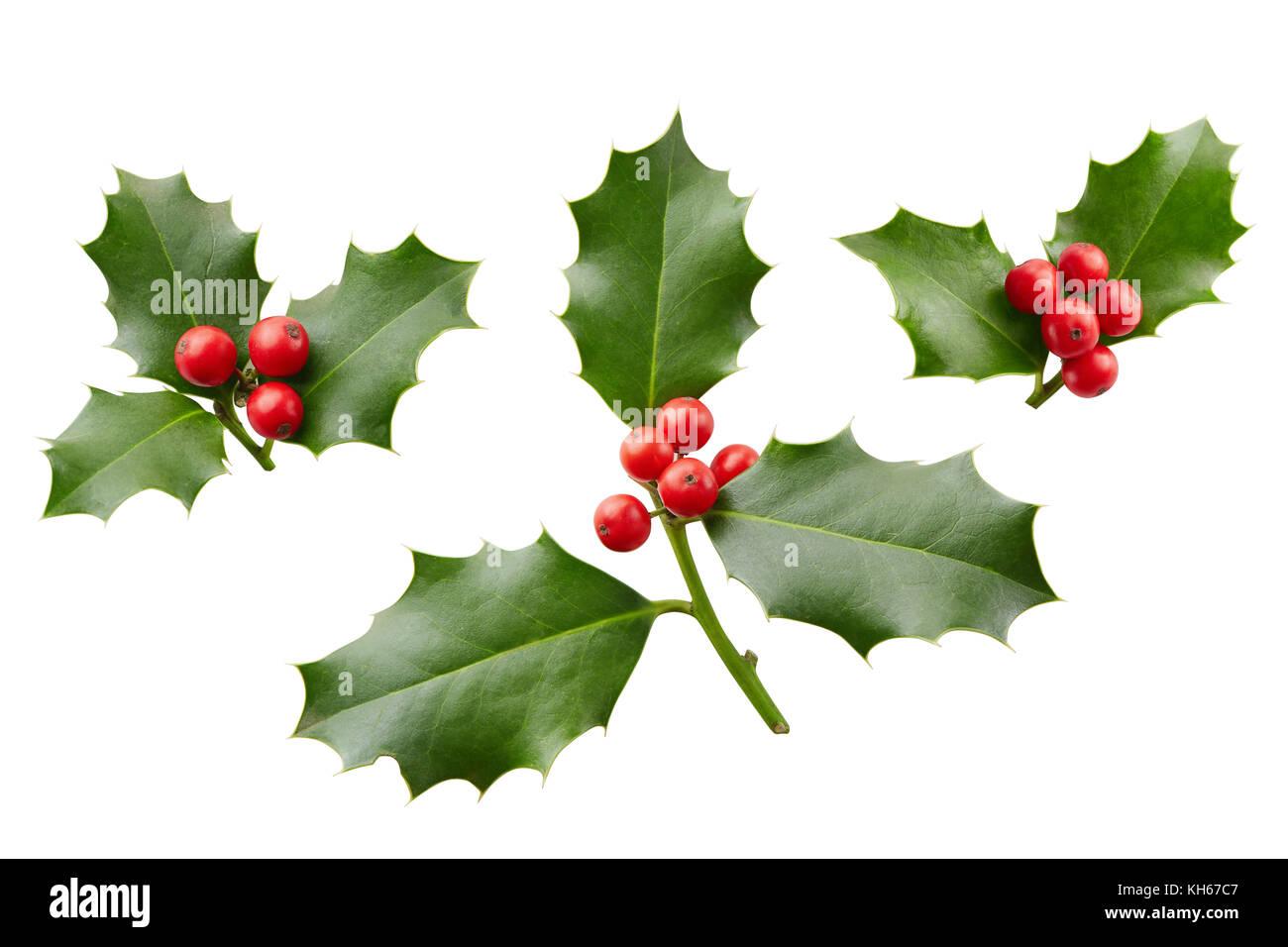 Natale agrifoglio con bacche rosse tradizionali for Agrifoglio immagini