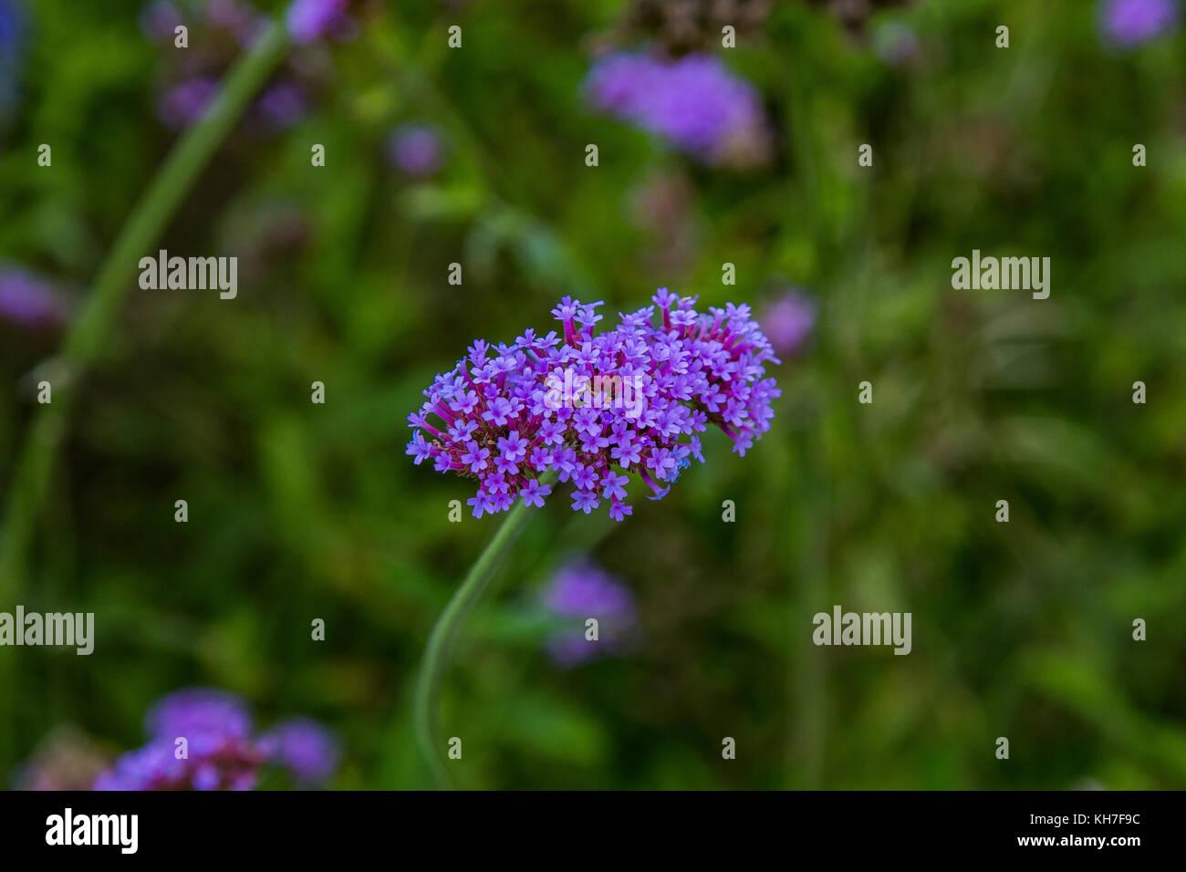 Piccoli Fiori Viola.Una Ripresa Macro Di Un Cluster Di Piccoli Fiori Viola Foto