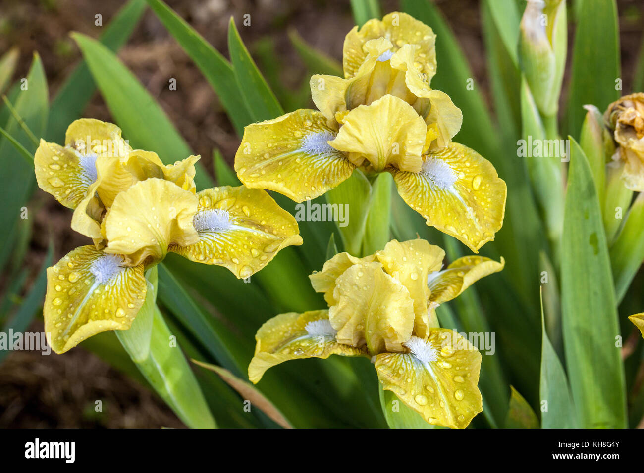 Dwarf barded iris, Iris barbata nana ' accento di oliva ', Iris fiore giallo Immagini Stock
