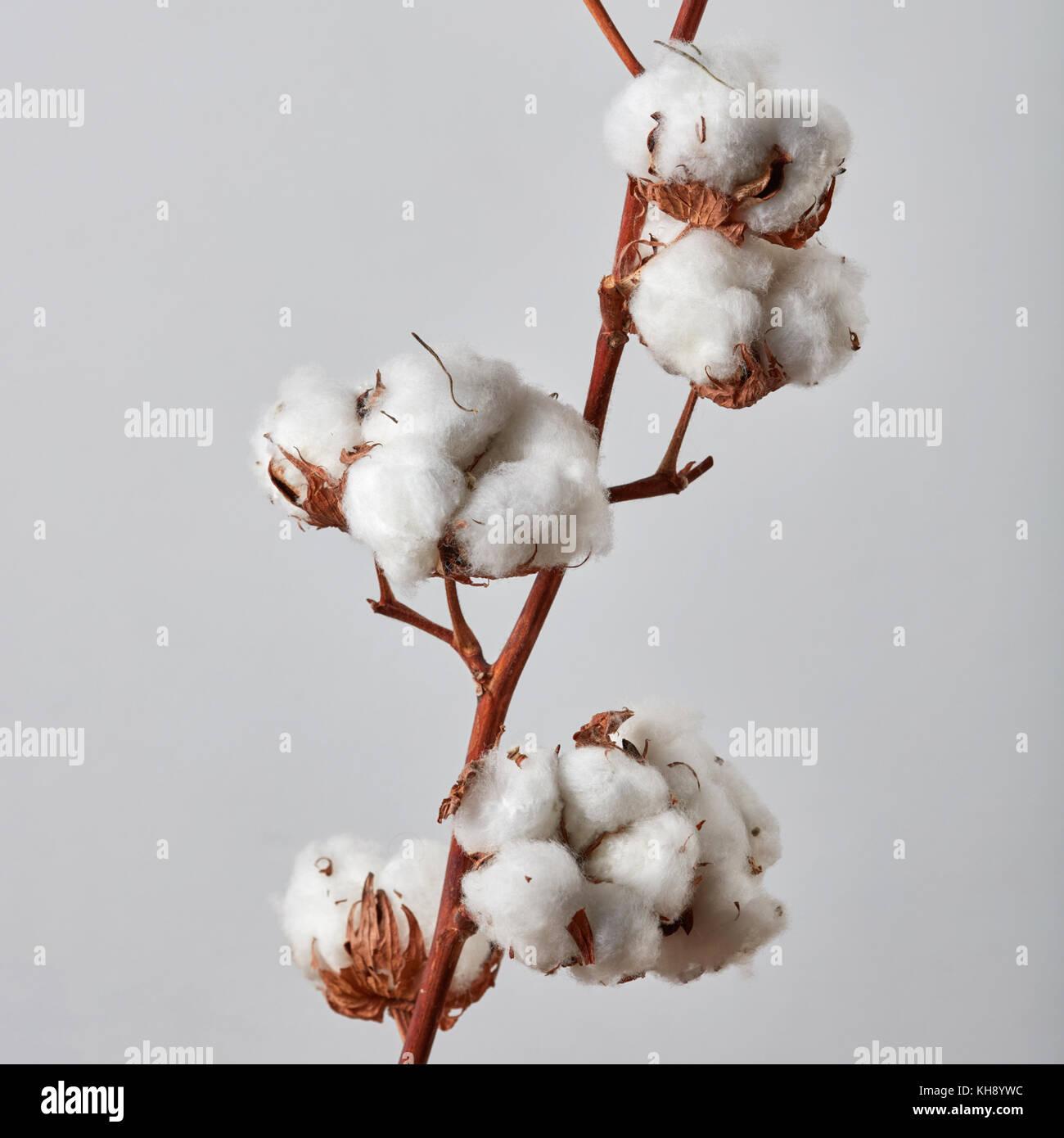 6e3af23ab4 Il ramo con il bianco bellissimi fiori di cotone su sfondo grigio ...