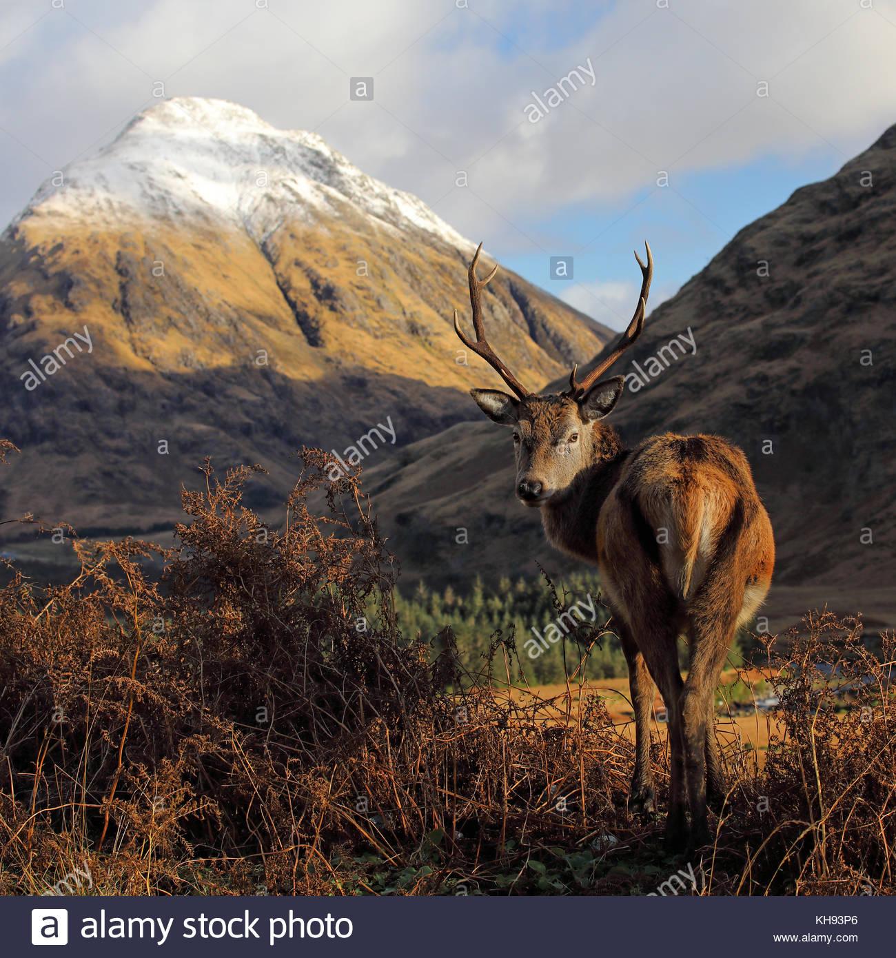 Un cervo rosso cervo in piedi di fronte a un snoe montagna ricoperte nelle Highlands Scozzesi. Foto Stock
