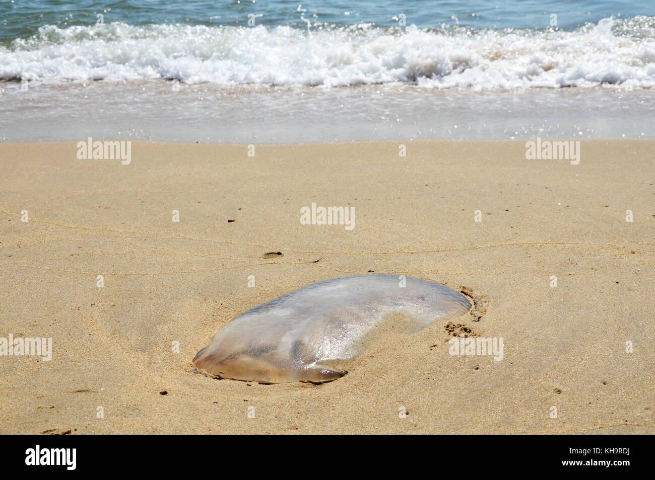 Filamento di meduse sulla spiaggia Immagini Stock