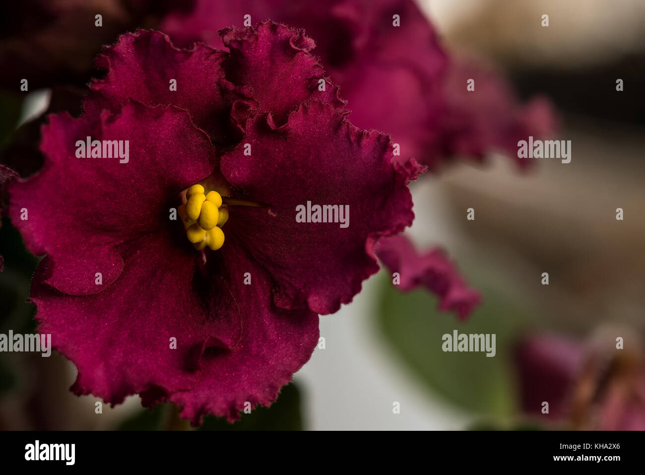 Fiori Gialli Borgogna.La Borgogna Fiore Di Violetta Con Ciuffo Di Stami Gialli Foto