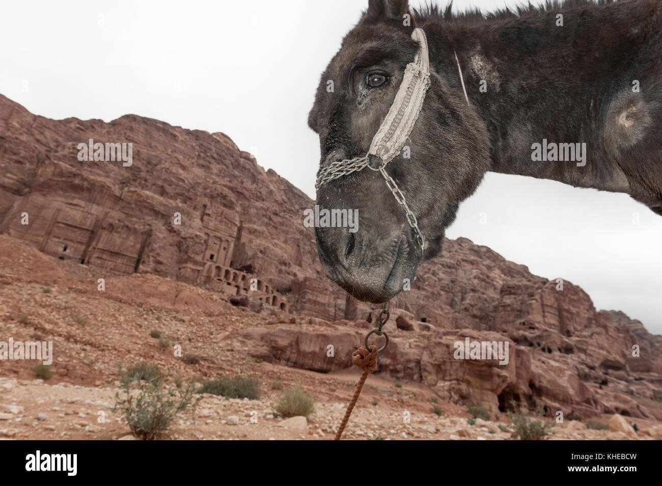 Benessere degli animali il problema di Petra, Giordania, medio oriente Immagini Stock