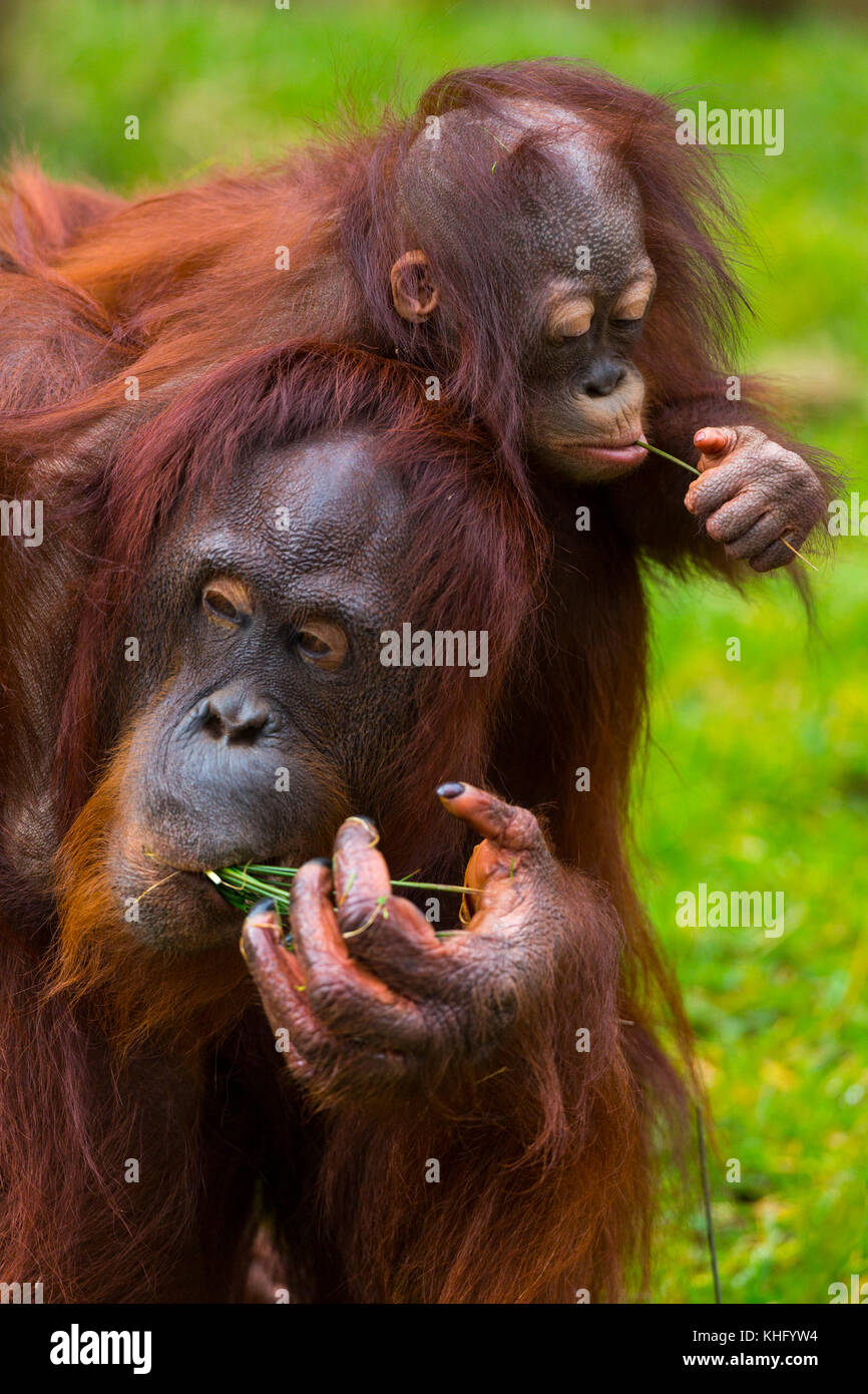 Bornean orangutan (pongo pygmaeus) Immagini Stock