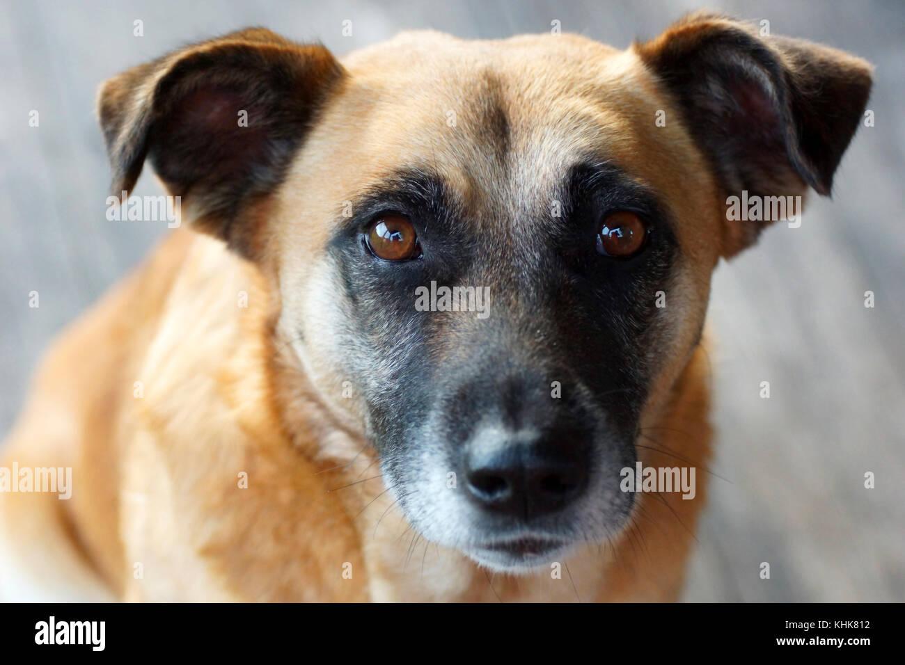 Ritratto di un cane giallo Immagini Stock