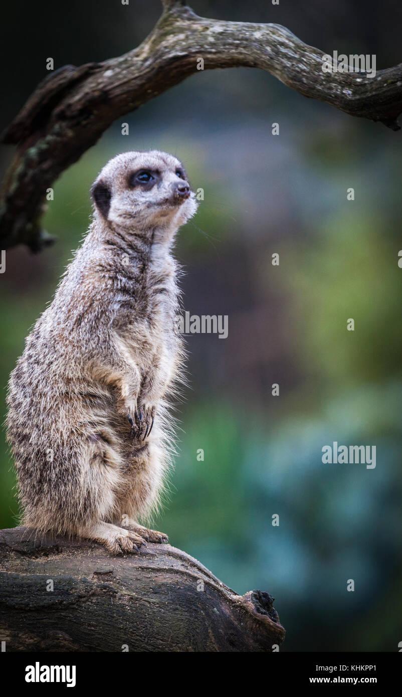 Merkat, diurna sricata herpestid suricatta Immagini Stock