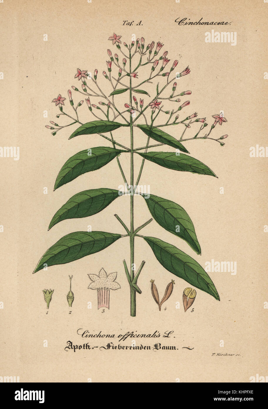 La chinina, red china o corteccia di China, China officinalis. handcolored incisione su rame dal dr. willibald artus' Immagini Stock