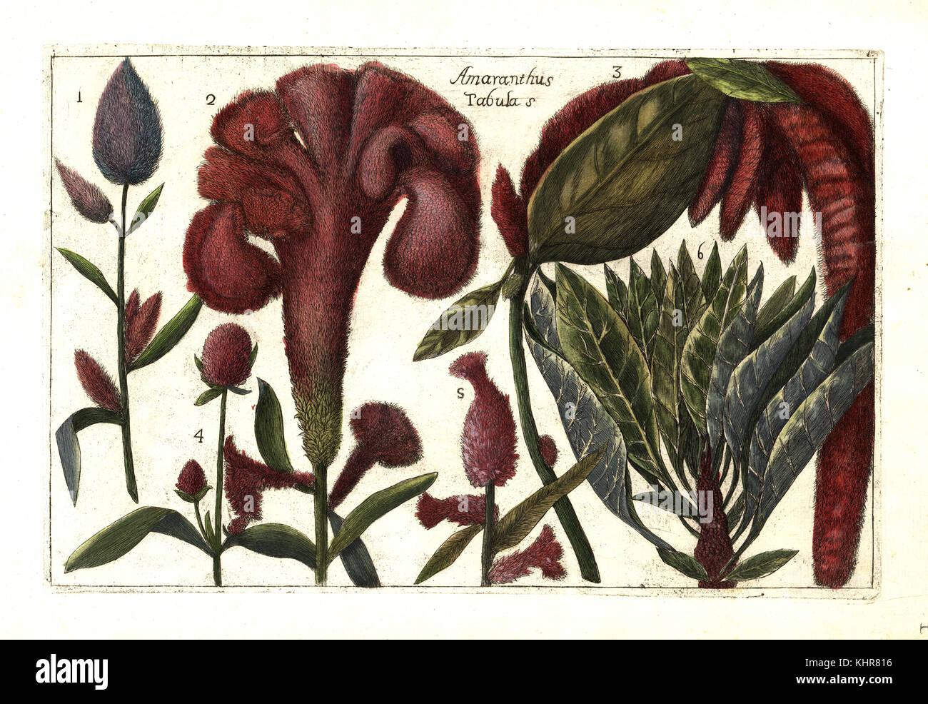 Specie di amaranto 1, principe della piuma, Amaranthus hypochondriacus 2, amore giace il sanguinamento, Amaranthus Immagini Stock