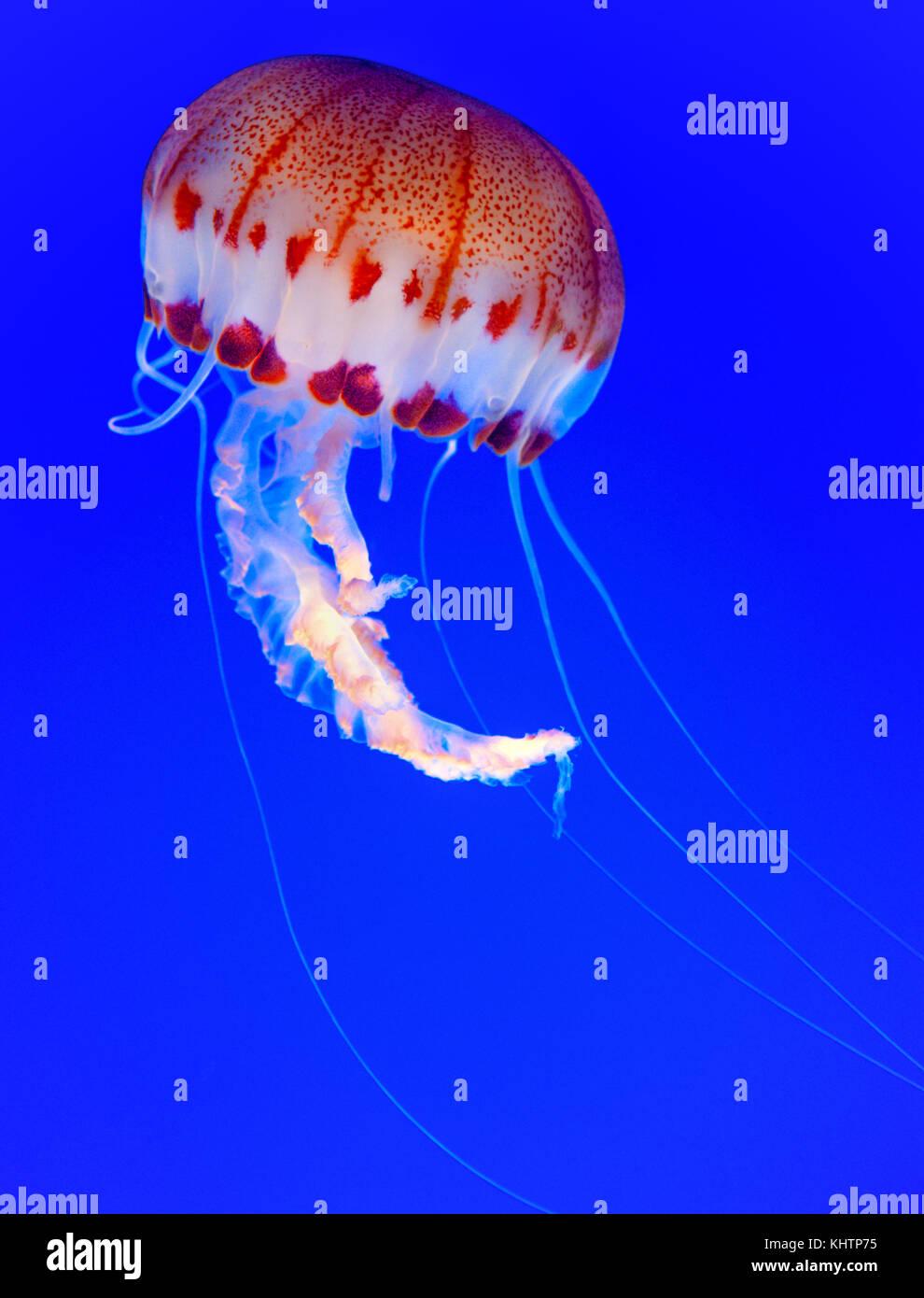Un sorprendente jpurple-striped ellyfish (Chrysaora colorata) al Monterey Bay Aquarium, CA U.S.A. Immagini Stock