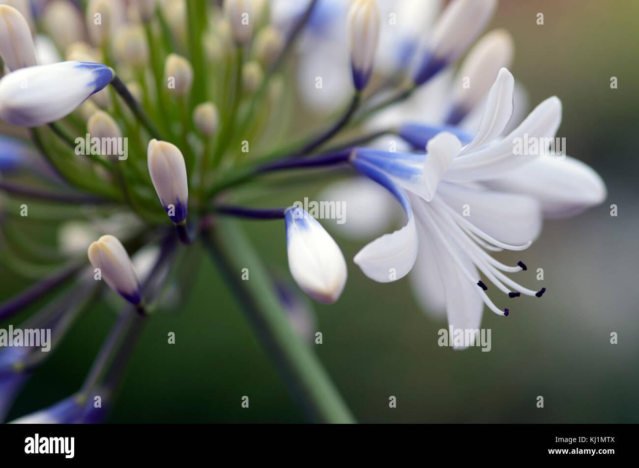 Fiori Bianchi Viola.Agapanthus Regina Mamma Grandi Fiori Bianchi Con Viola Blu