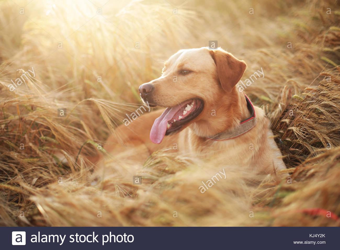 Bello cane ritratto in un campo di grano Immagini Stock