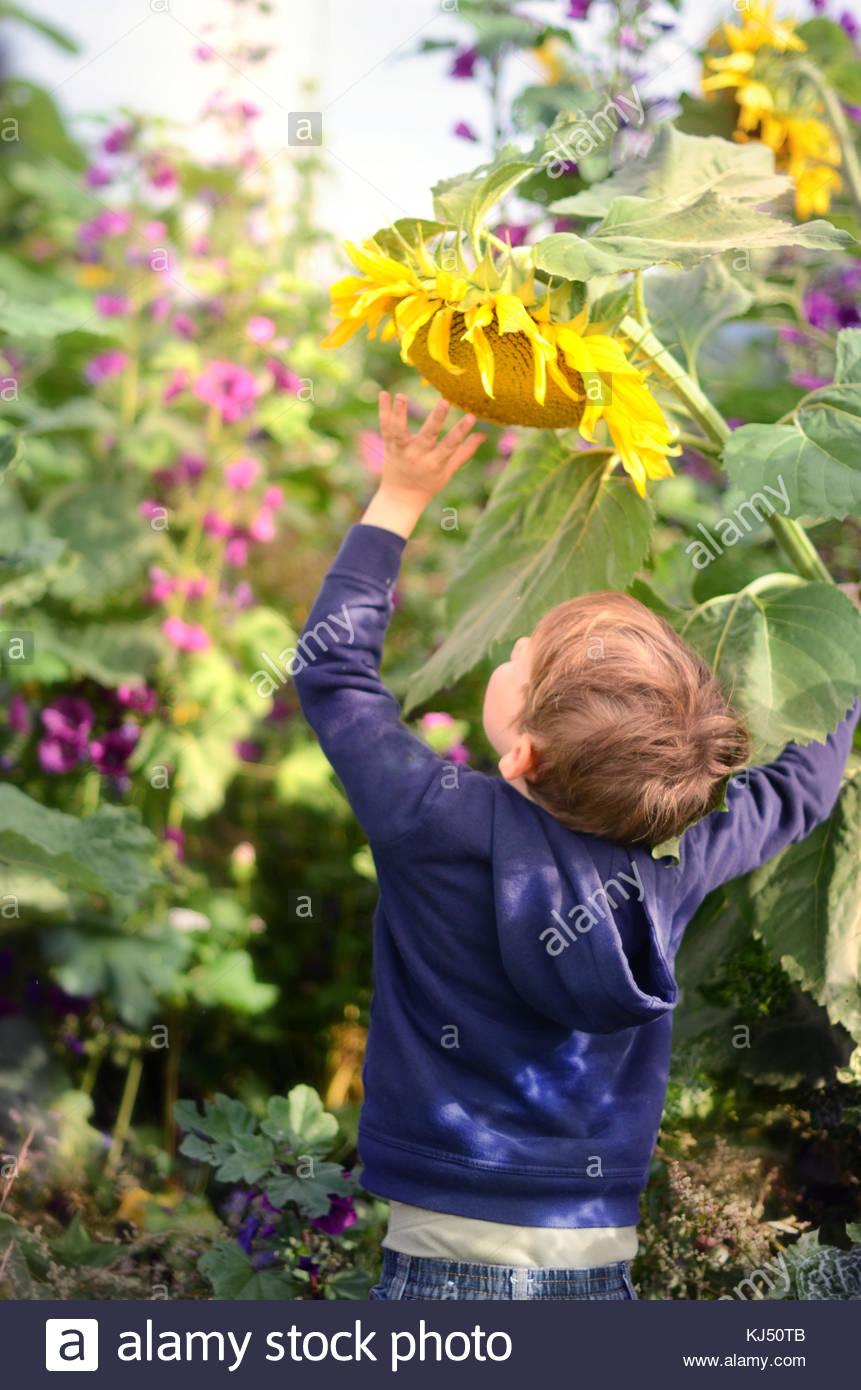 Bambino di raggiungere per semi di girasole Immagini Stock