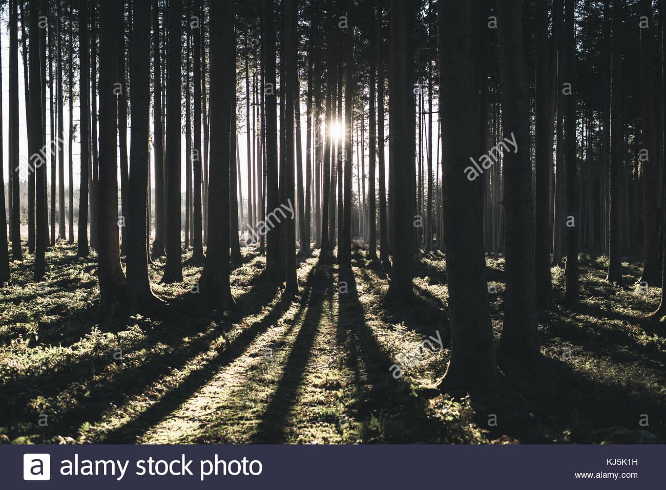 Sunshine throgh tronchi Immagini Stock