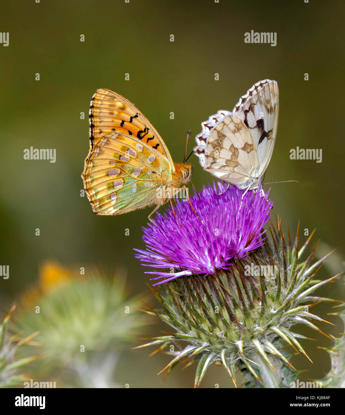Verde scuro Fritillary Mesoacidalia aglaja e iberica Bianco Marmo butterfly Melanargia lachesis al sole sulla testa Immagini Stock