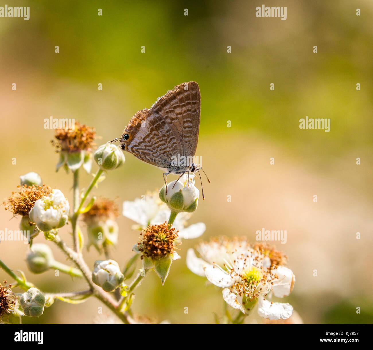 Lunga coda di Blue Butterfly Lampides boeticus crogiolarsi al sole sulla flowerhead di rovo blossom a Riaza nella Foto Stock