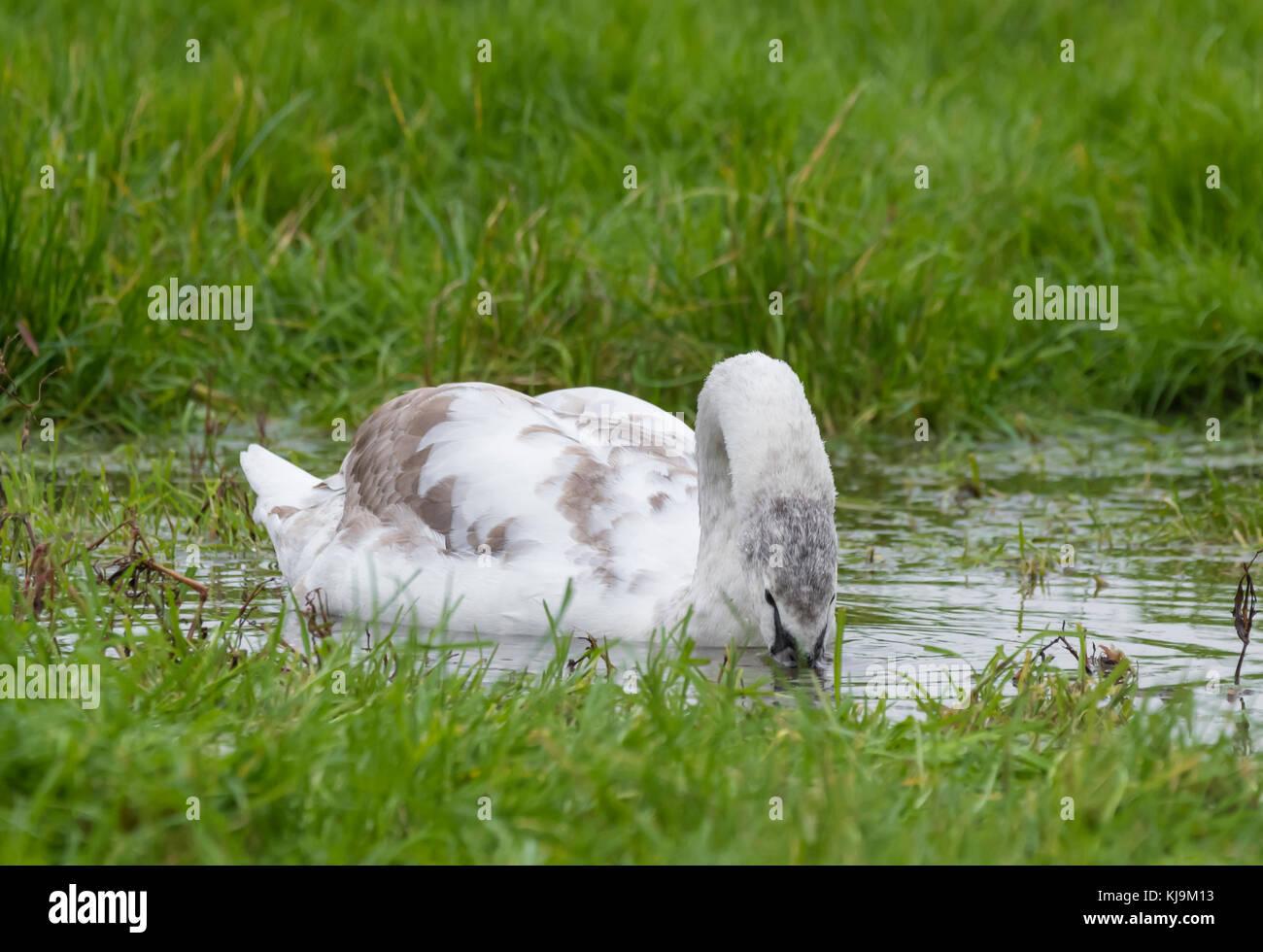 Swan Cygnet (Cygnus olor) nuotare in acqua in un invaso campo in autunno nel West Sussex, in Inghilterra, Regno Immagini Stock